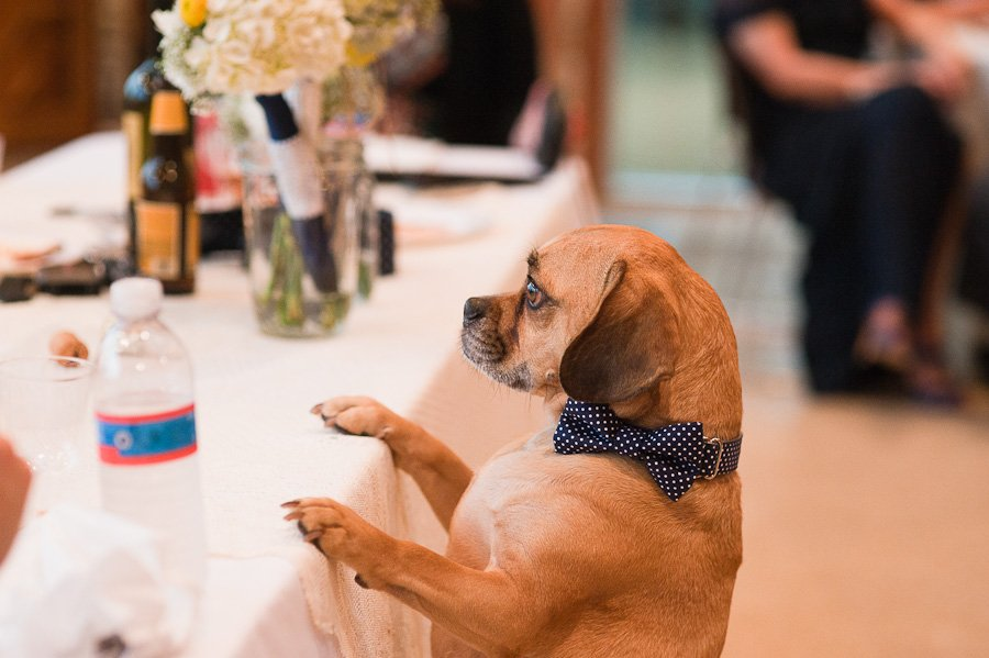 puggle with bowtie at wedding