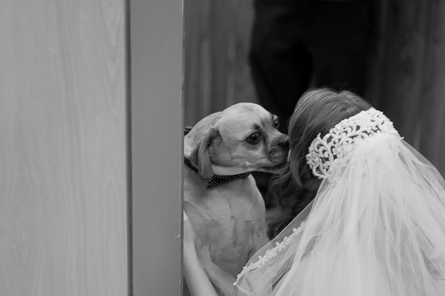 bride with puggle, dog kisses at wedding in La Grange