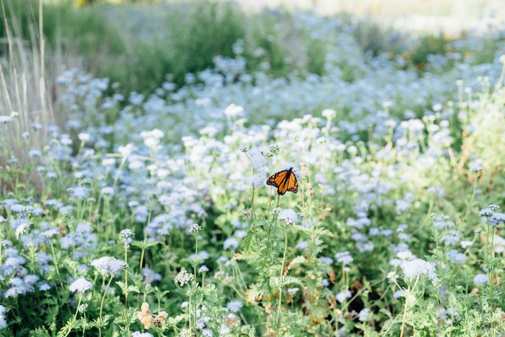 monarch butterfly lands on a flowering bush at the lady bird johnson wildflower center in austin texas during a perfect fall outdoor wedding