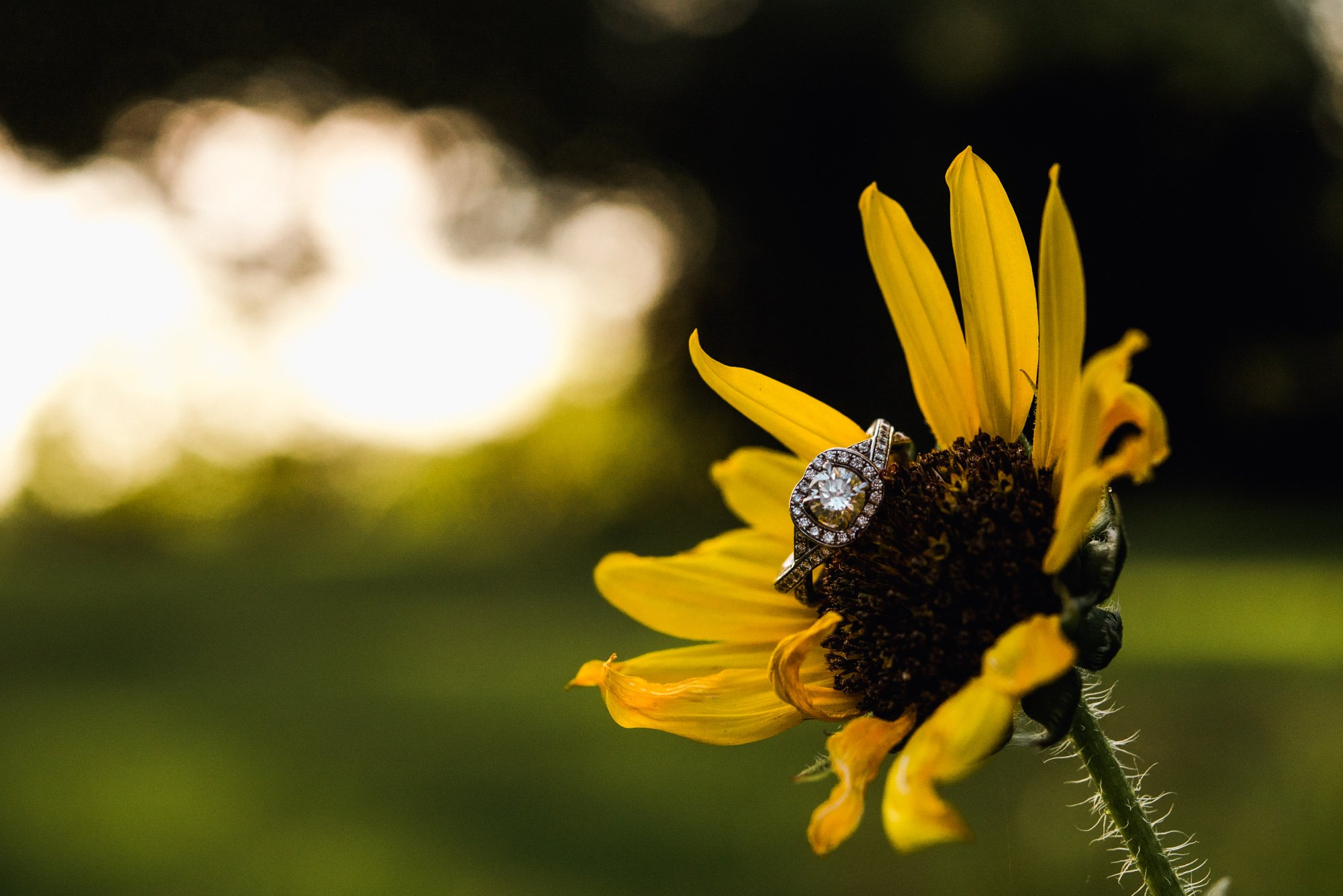 detail photograph of a ring on a sunflower, summer ring shot detail, austin wedding photographer for creative couples